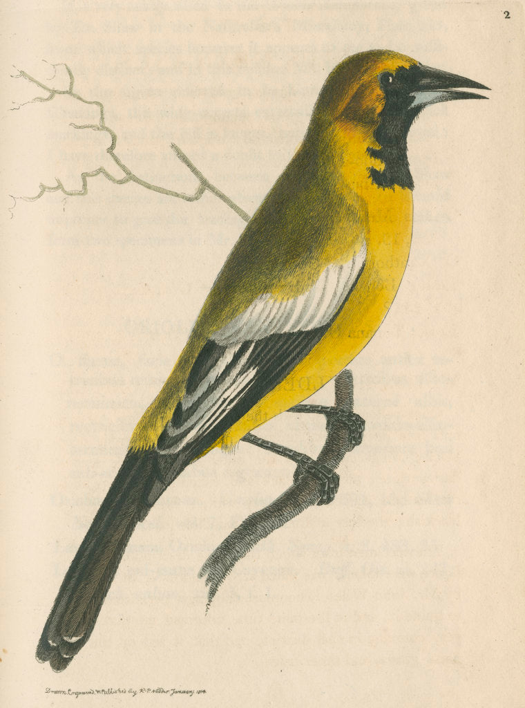 Detail of 'White-shouldered banana oriole' [Oriole blackbird] by Richard Polydore Nodder