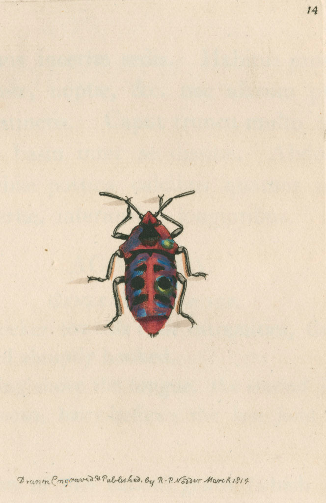 Detail of 'Six-spotted shieldbug' by Richard Polydore Nodder