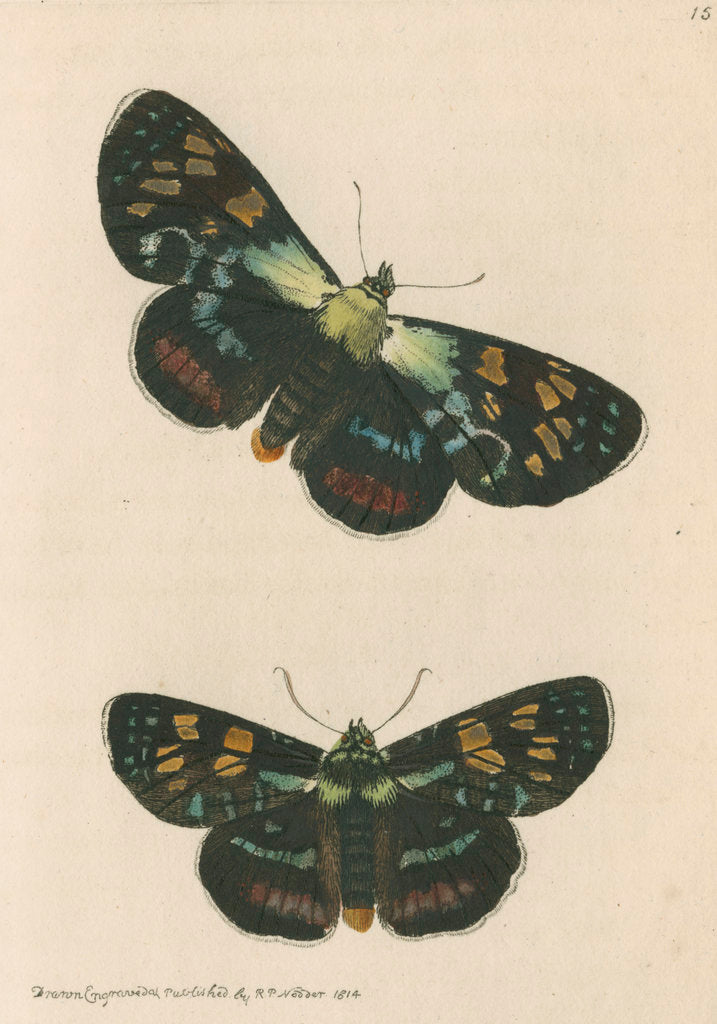 Detail of 'Painted agarista' [Joseph's coat moth] by Richard Polydore Nodder