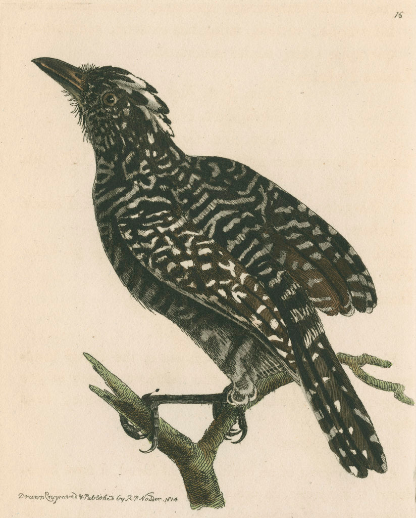 Detail of 'Pied shrike' [Barred antshrike] by Richard Polydore Nodder