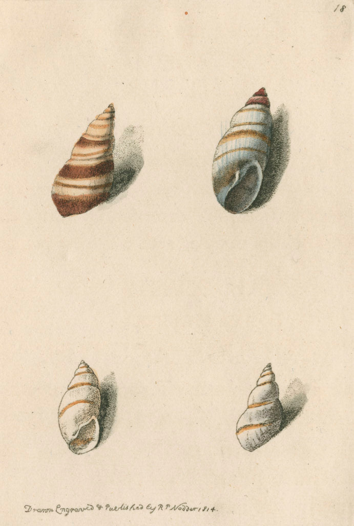 Detail of Two specimens of snail shells by Richard Polydore Nodder