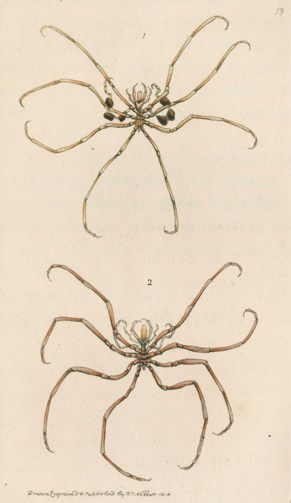 Detail of Two specimens of crustaceans by Richard Polydore Nodder