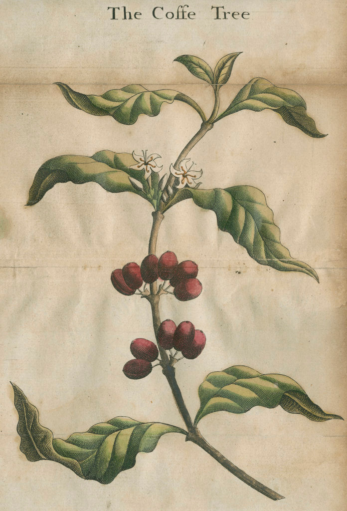 Detail of Coffee plant by unknown