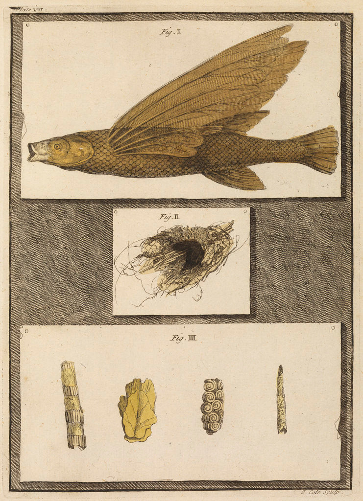 Detail of Flying fish with freshwater nests and cases by T Cole