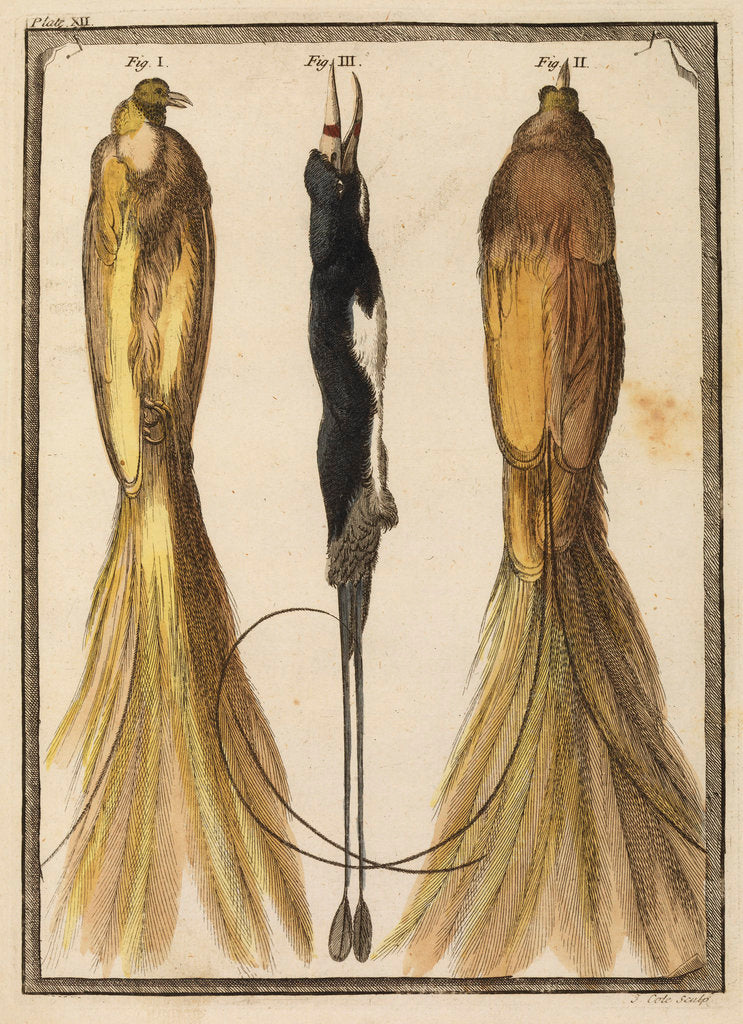 Detail of Two specimens of the Bird-of-Paradise by T Cole