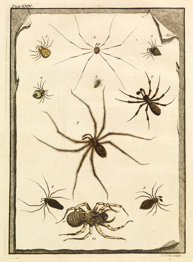 Detail of Ten specimens of spiders by T Cole
