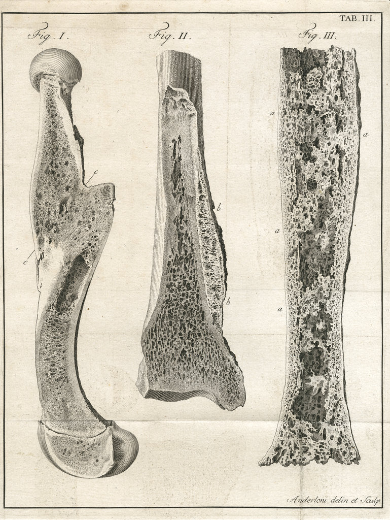 Detail of Sections of the leg bones by Faustino Anderloni
