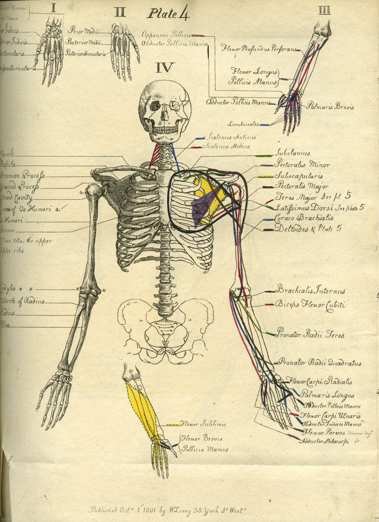 Detail of Muscle distribution of the upper body (front) by Joseph Constantine Carpue