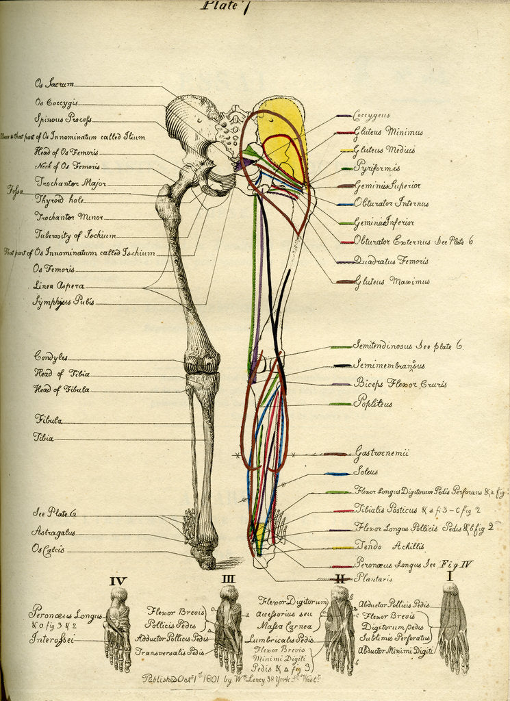 Detail of Muscle distribution of the lower bod(back) by Joseph Constantine Carpue