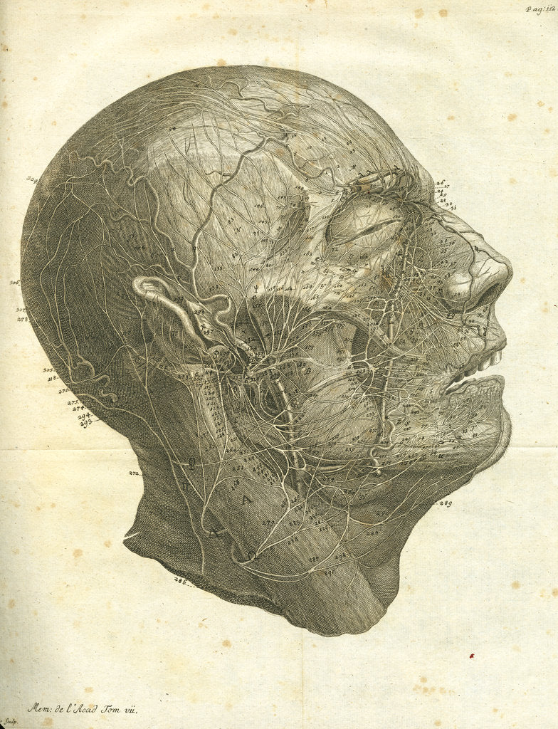 Detail of Veins of the human head by unknown
