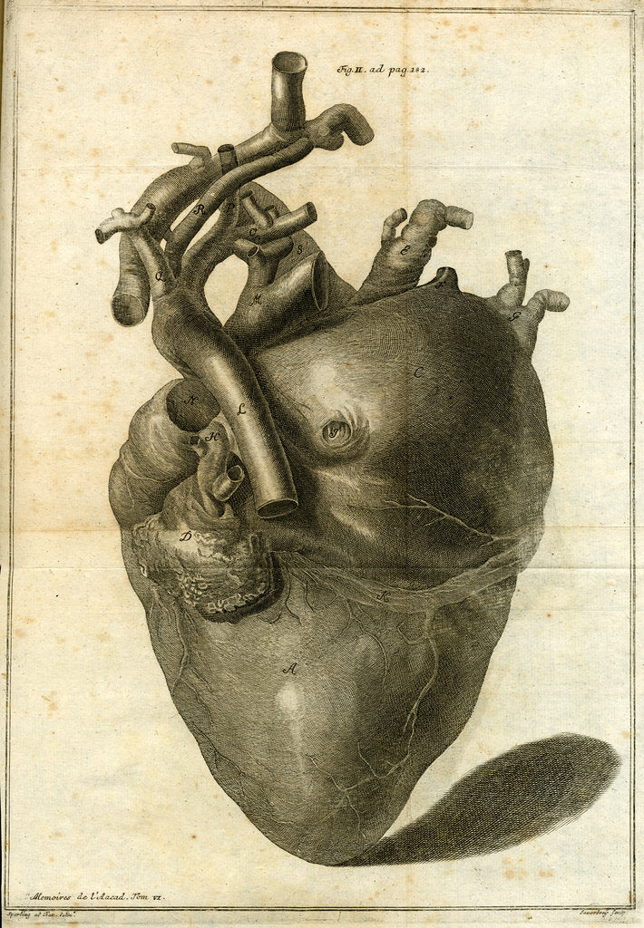 Detail of A human heart by Sauerbrey