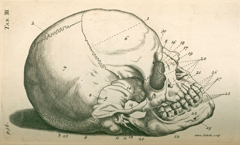Detail of The bones of the head by Sutton Nicholls