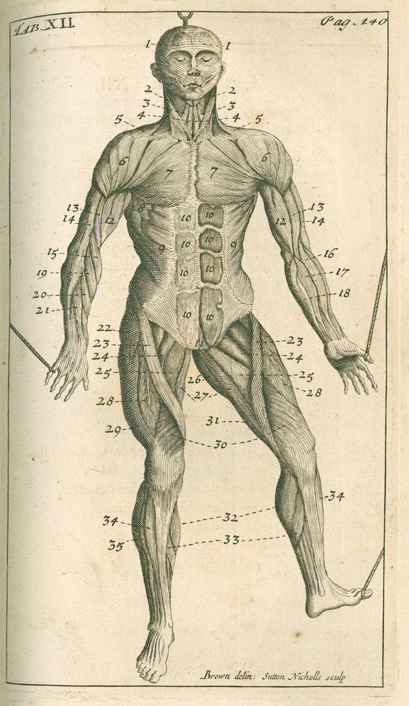Detail of The muscles of the human body (front) by Sutton Nicholls