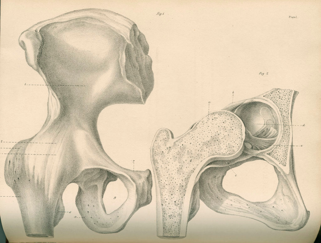Detail of Hip bone and a portion of the femur by J Perry
