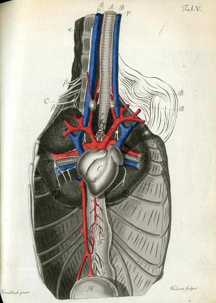 Detail of View of the chest cavity by Walwert