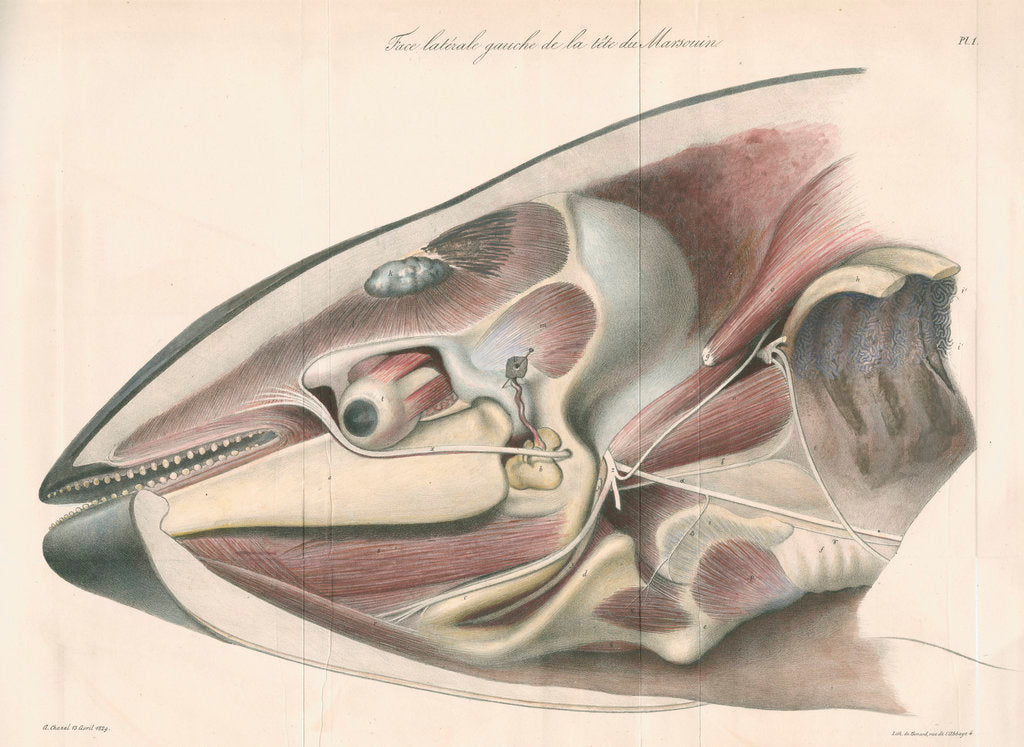 Detail of Dissected head of a porpoise by Antoine Toussaint de Chazal