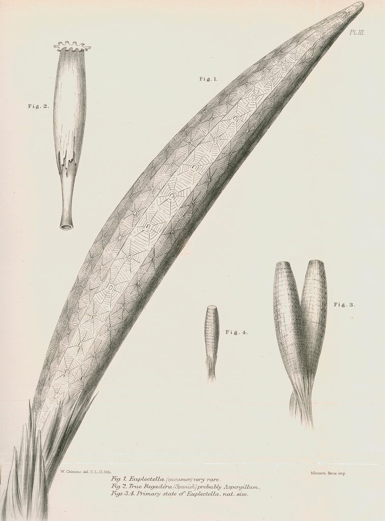 Detail of Specimens of Euplectella [Venus's flower basket] by C L G