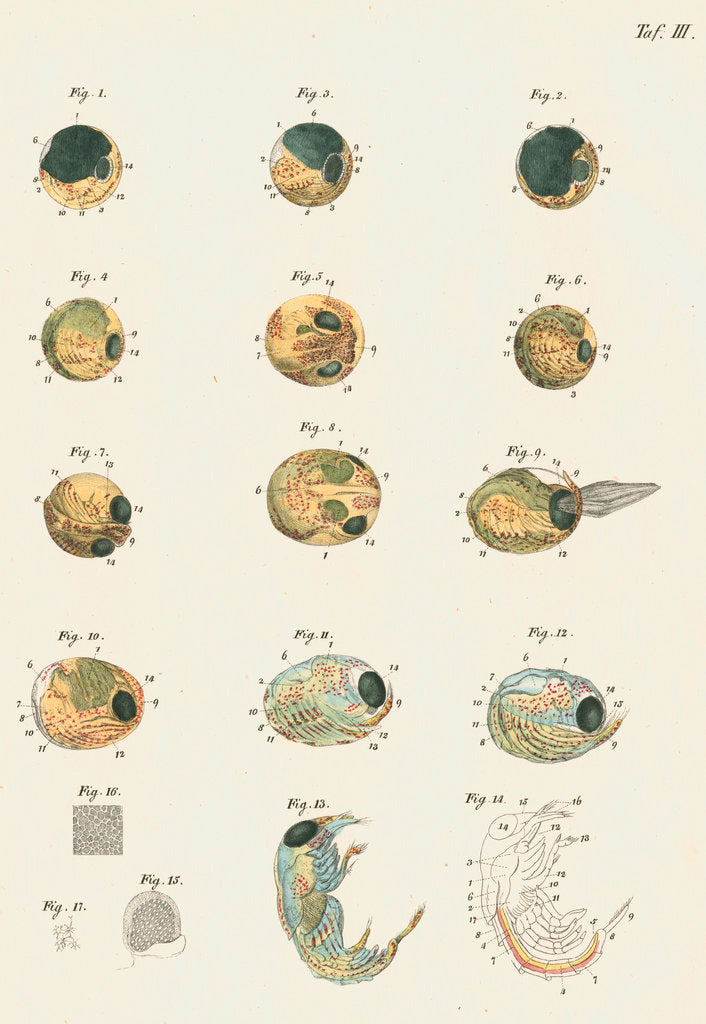 Detail of Lobster egg development by Michael Pius Erdl