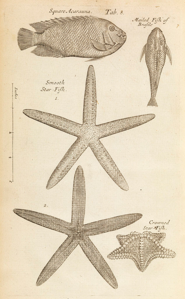 Detail of Fish and starfish in the Royal Society's Repository by Anonymous