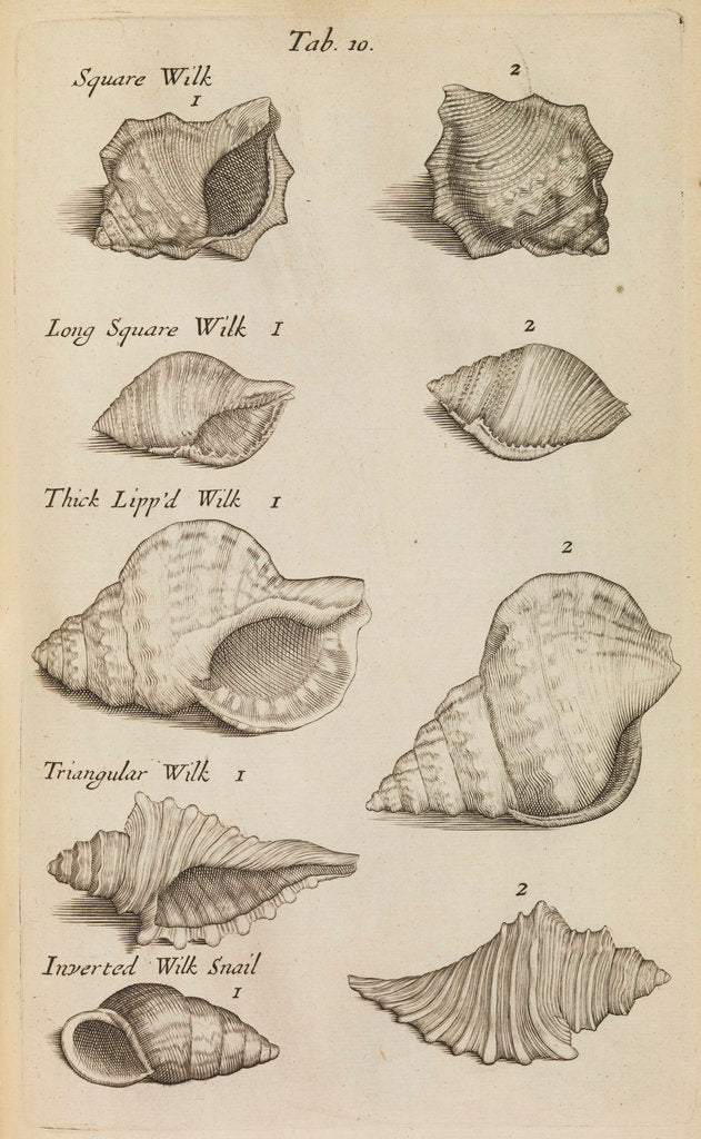 Detail of Whelk shells in the Royal Society's Repository by Anonymous