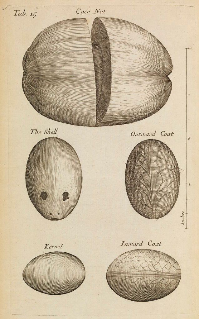 Detail of A coconut in the Royal Society's Repository by Anonymous