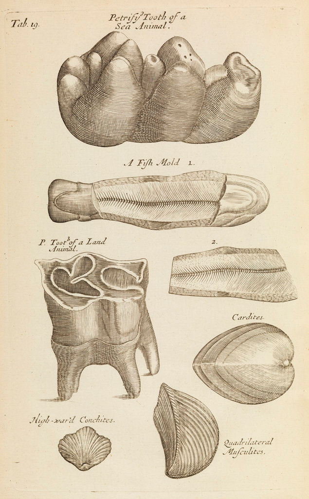 Detail of A 'petrified tooth' in the Royal Society's Repository by Anonymous