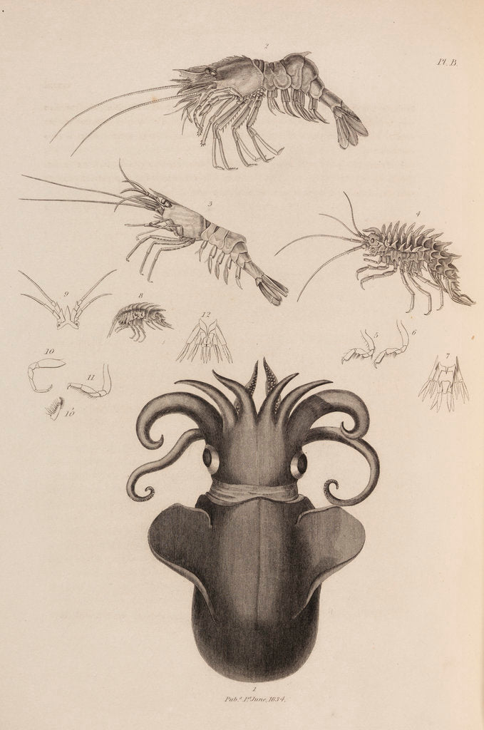 Detail of Marine invertebrates of the Arctic seas by unknown