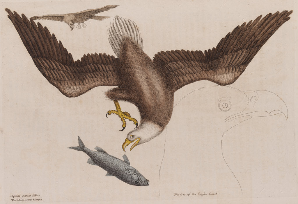 Detail of The bald eagle by Mark Catesby
