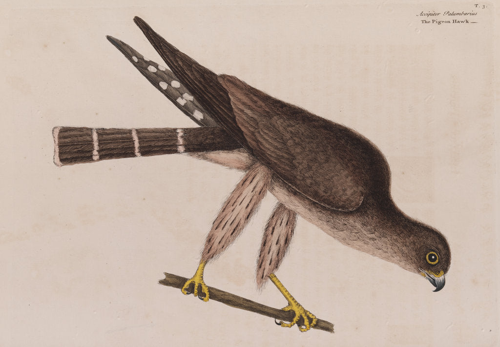Detail of The pigeon-hawk by Mark Catesby