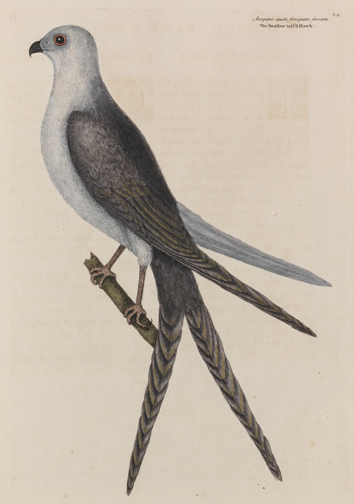Detail of The swallow-tail hawk by Mark Catesby