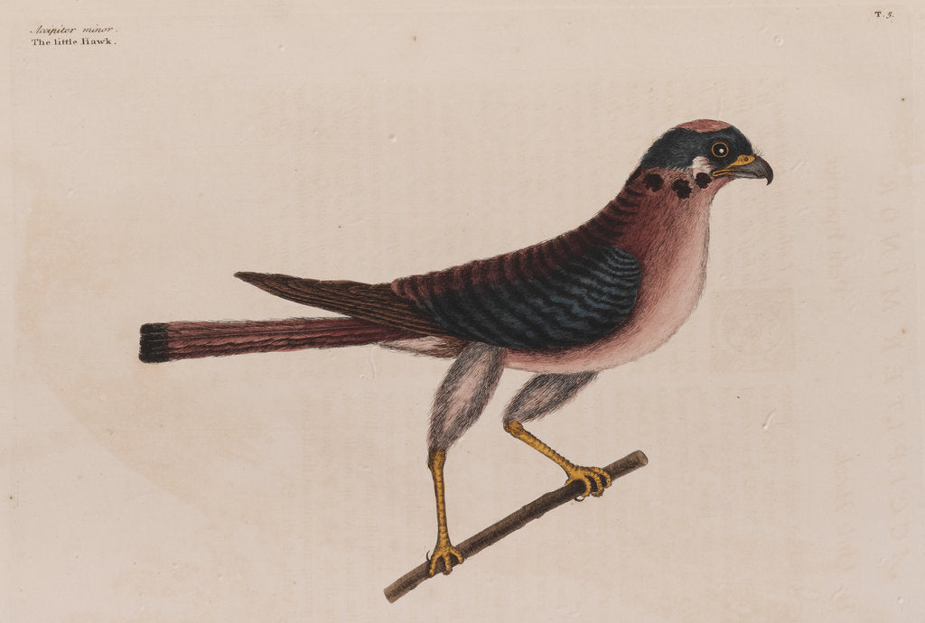 Detail of The little hawk by Mark Catesby