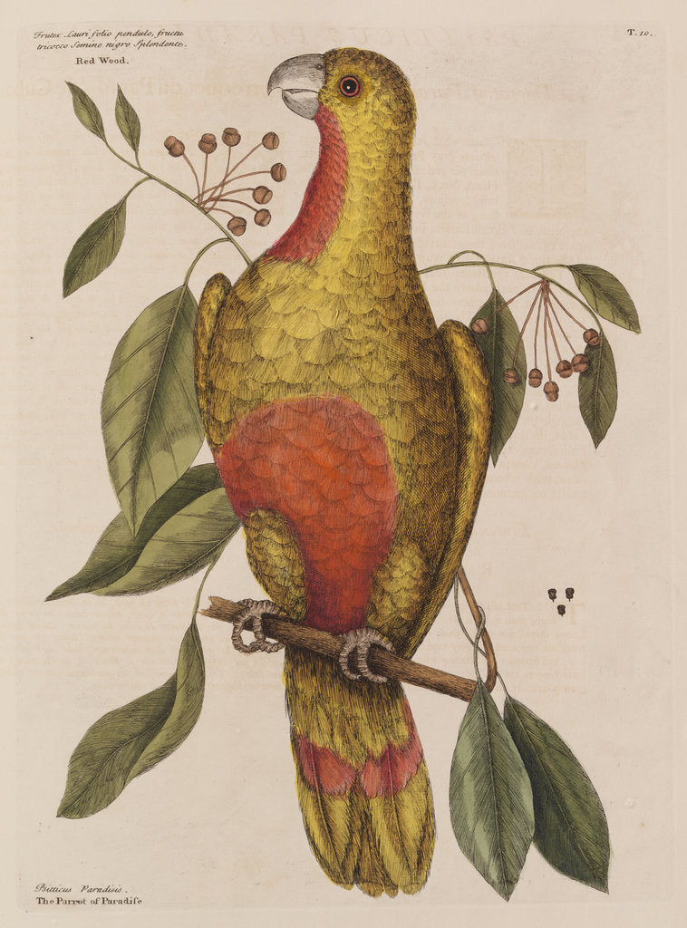 Detail of The parrot of paradise of Cuba and the red-wood by Mark Catesby