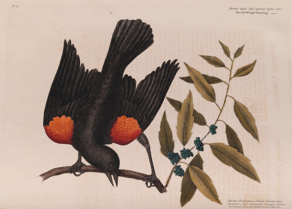 Detail of The 'red wing'd starling' and the 'broad-leaved candle-berry myrtle' by Mark Catesby