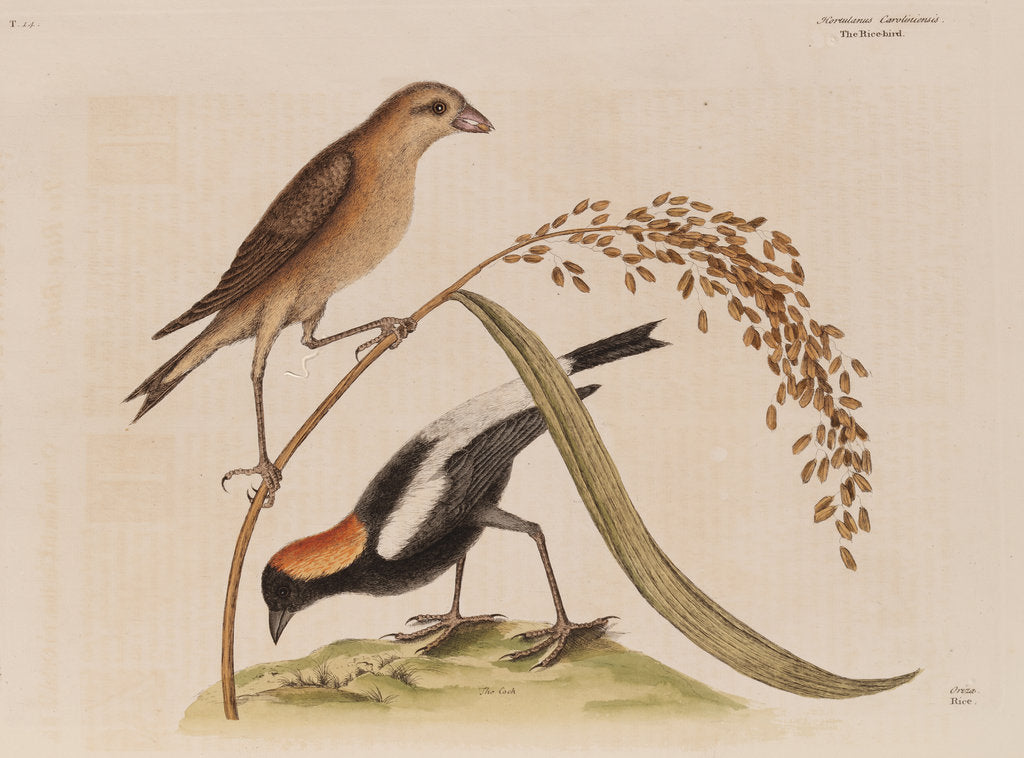 Detail of The 'rice-bird' by Mark Catesby