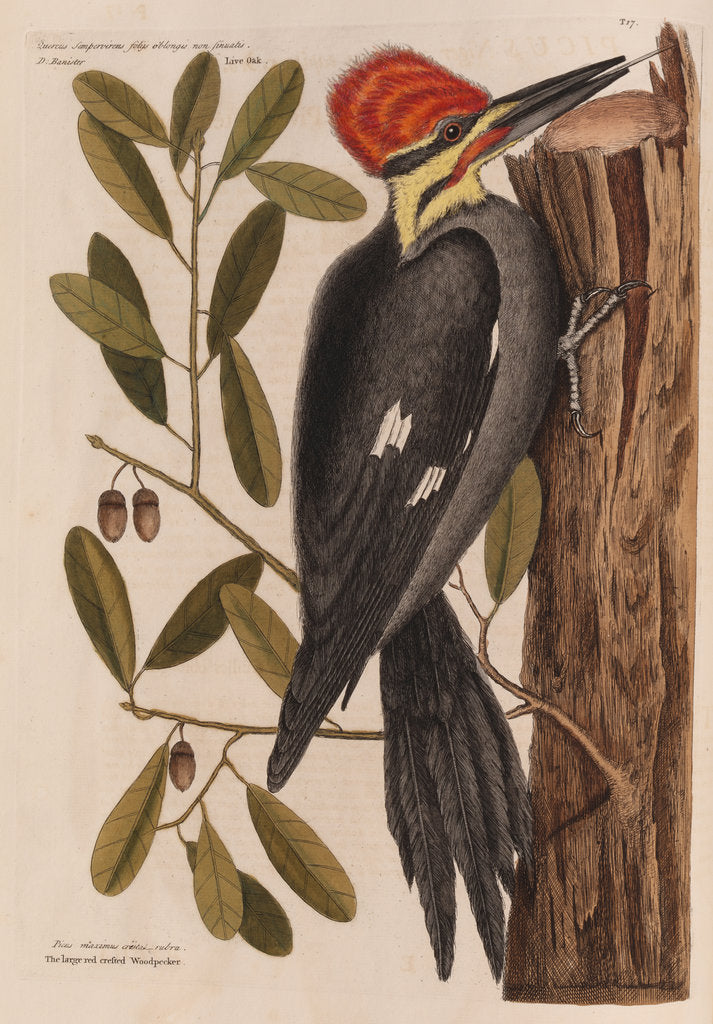 Detail of The 'larger red-crested wood-pecker' and the 'live oak' by Mark Catesby