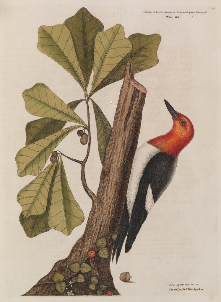 Detail of The 'red-headed wood-pecker' and the 'water oak' by Mark Catesby
