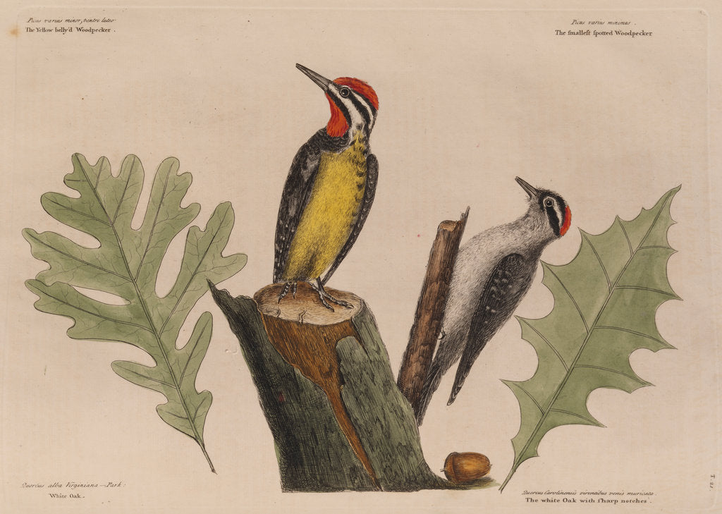 Detail of The 'yellow belly'd wood-pecker' and the 'smallest spotted wood-pecker' by Mark Catesby
