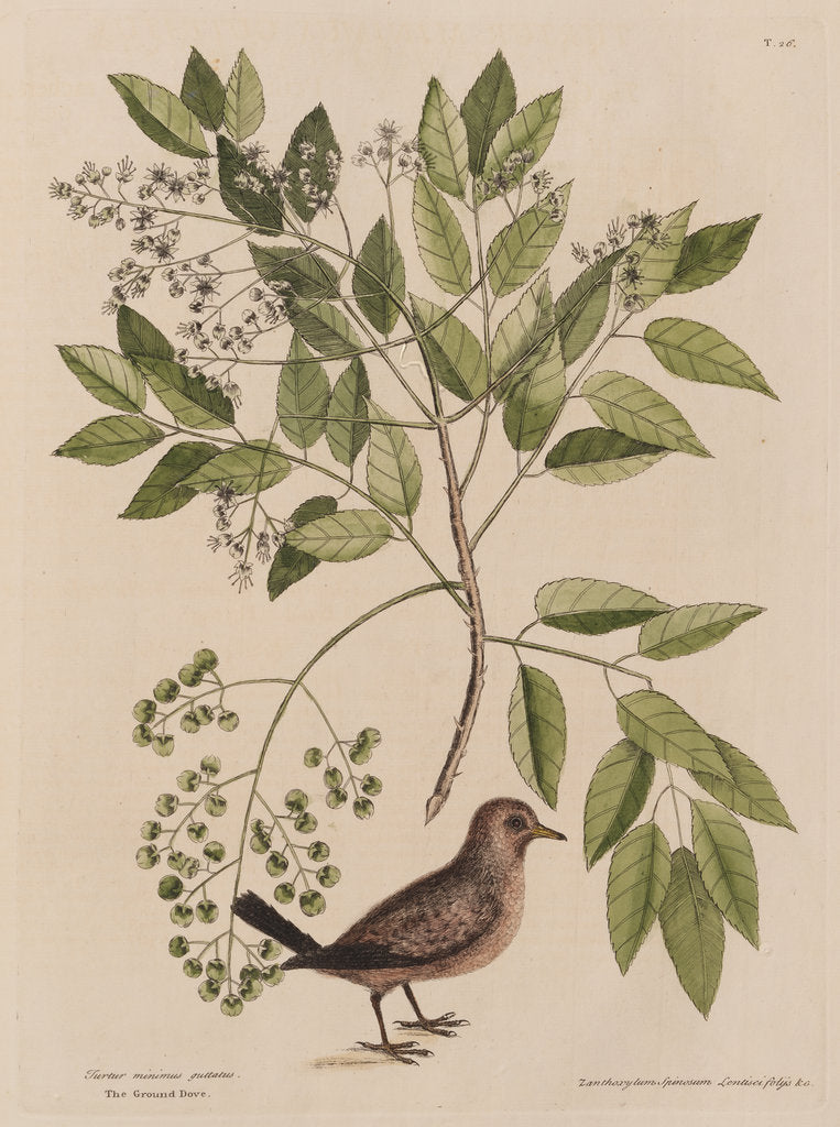 Detail of The ground-dove and the pellitory, or tooth-ach tree by Mark Catesby