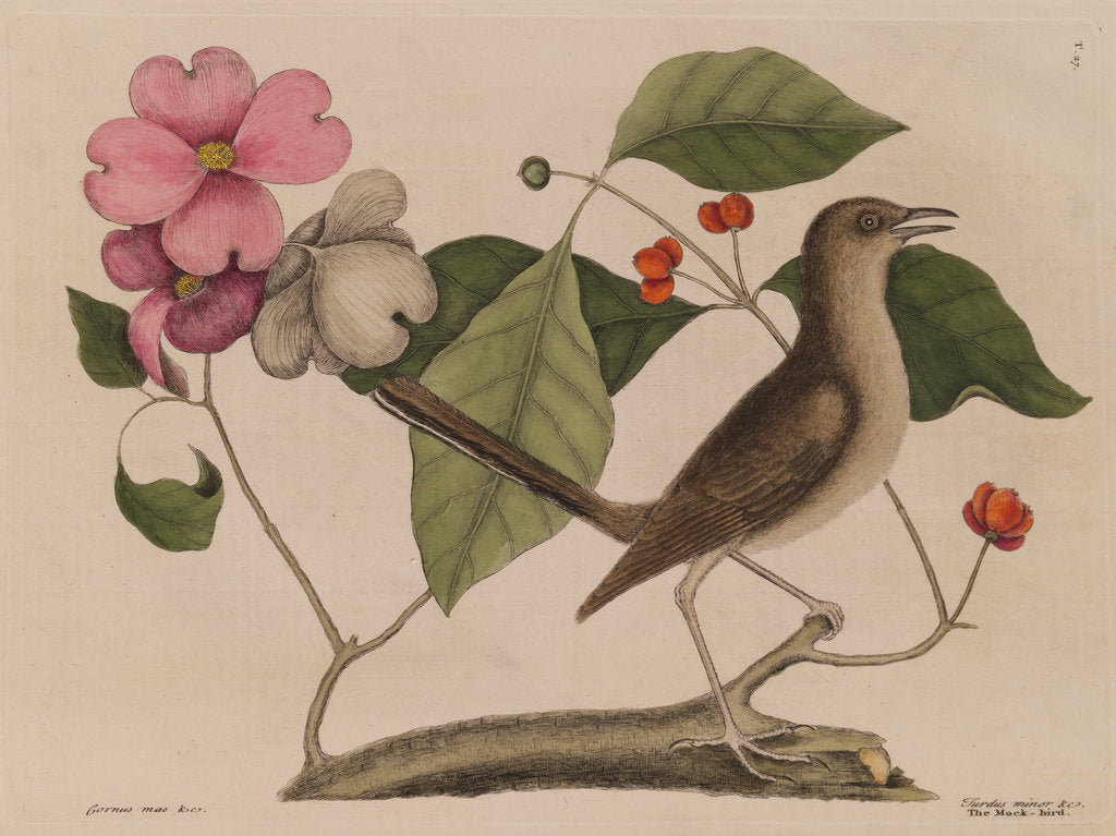Detail of The 'mock-bird' and the dogwood tree by Mark Catesby