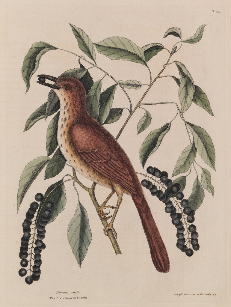 Detail of The 'fox coloured thrush' and the 'cluster'd black cherry' by Mark Catesby