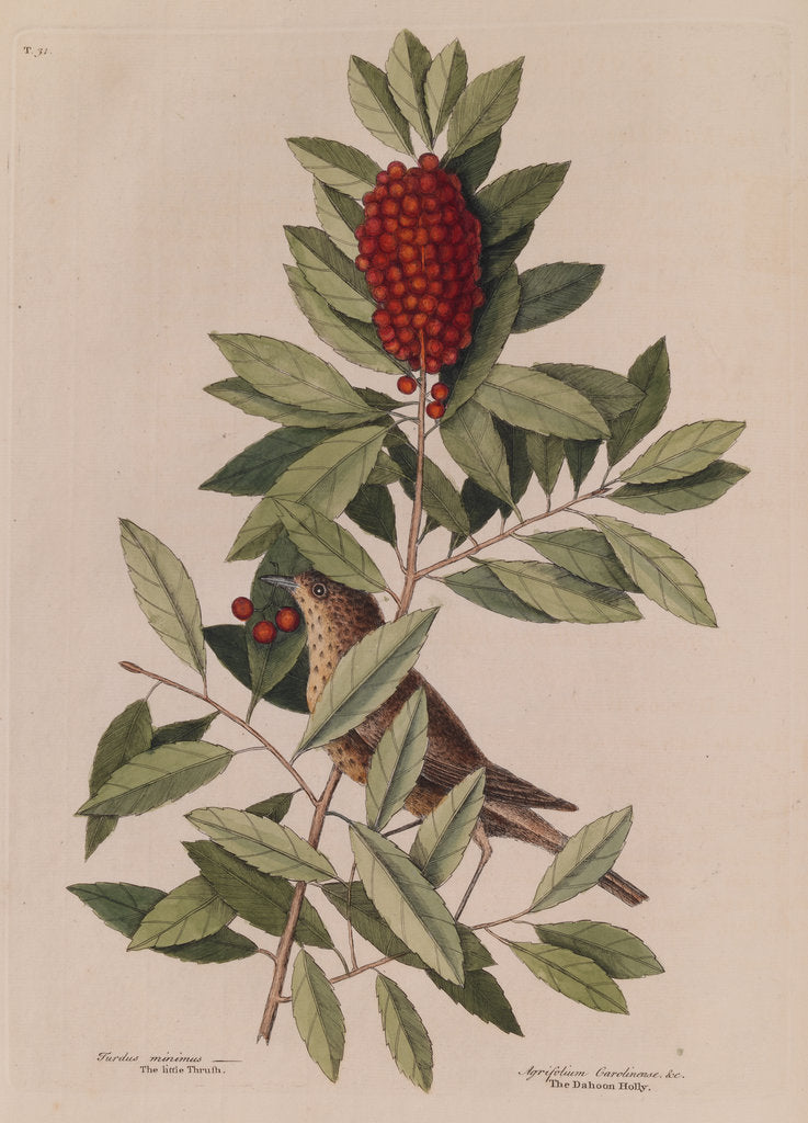 Detail of The 'little thrush' and the 'dahoon holly' by Mark Catesby
