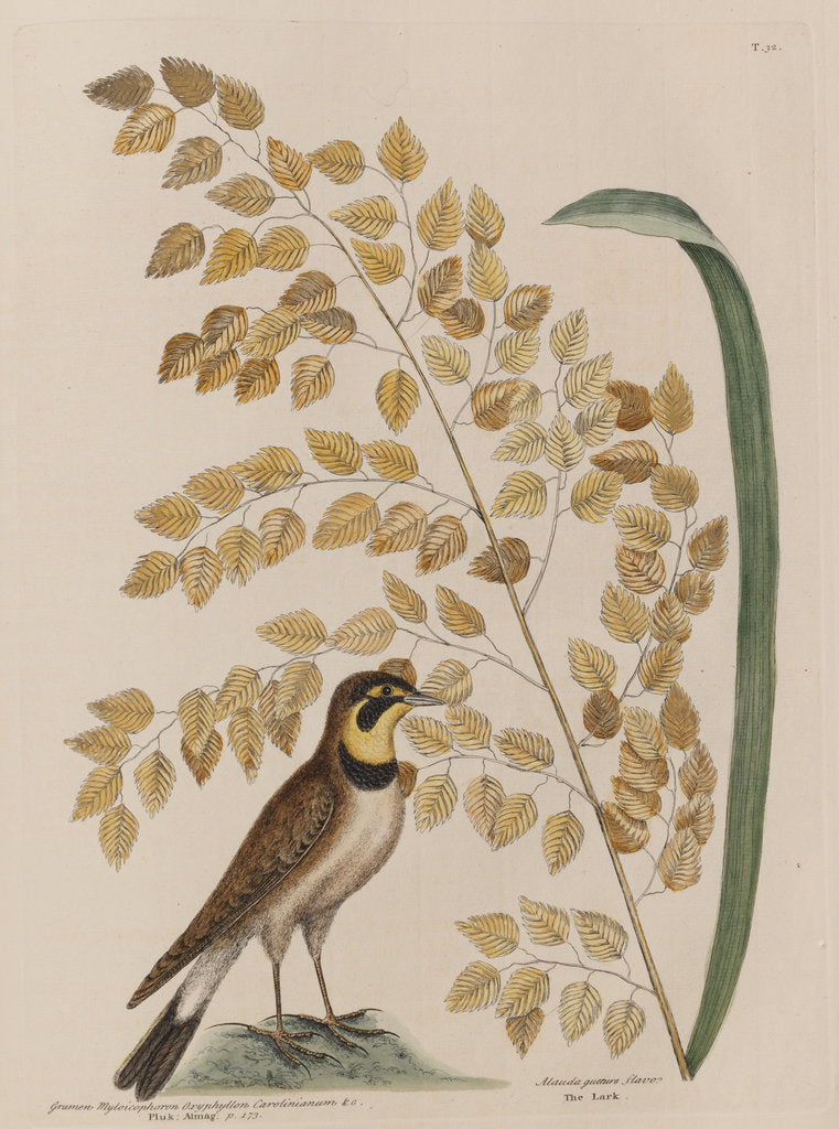 Detail of The 'lark' and the 'sea-side oat' by Mark Catesby