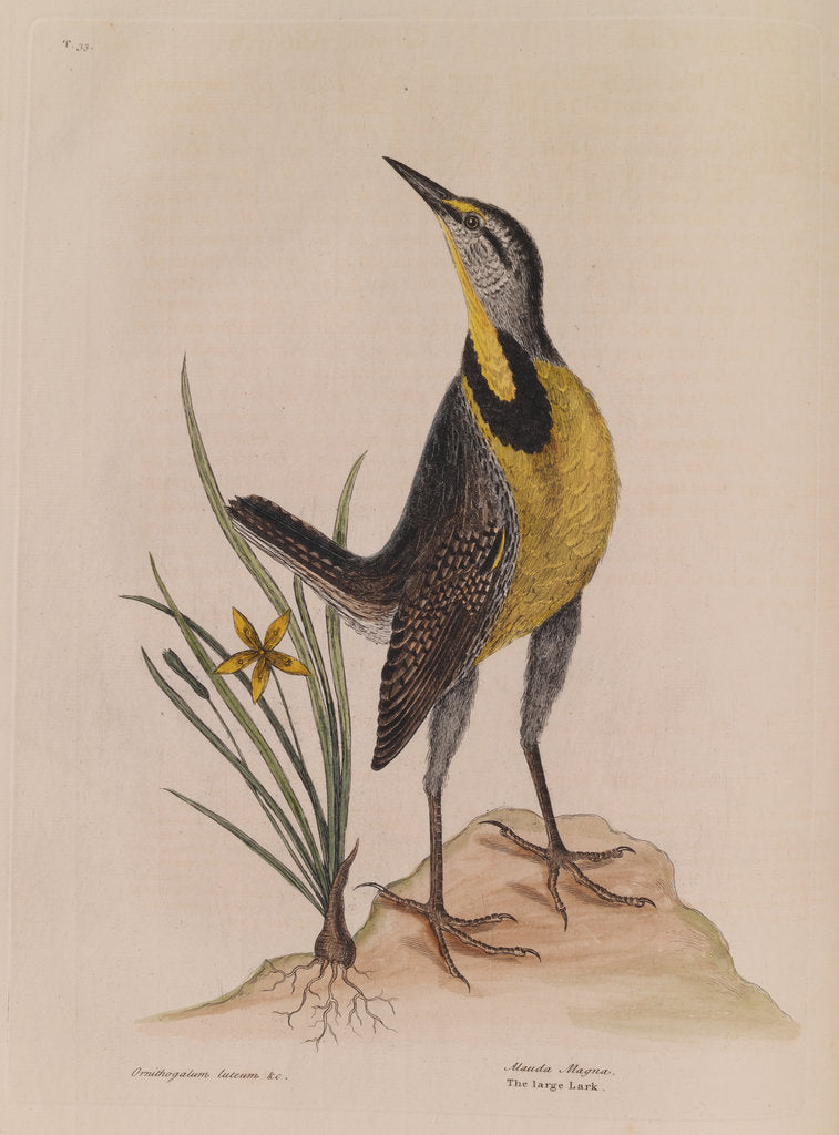 Detail of The 'large lark' and the 'little yellow star-flower' by Mark Catesby