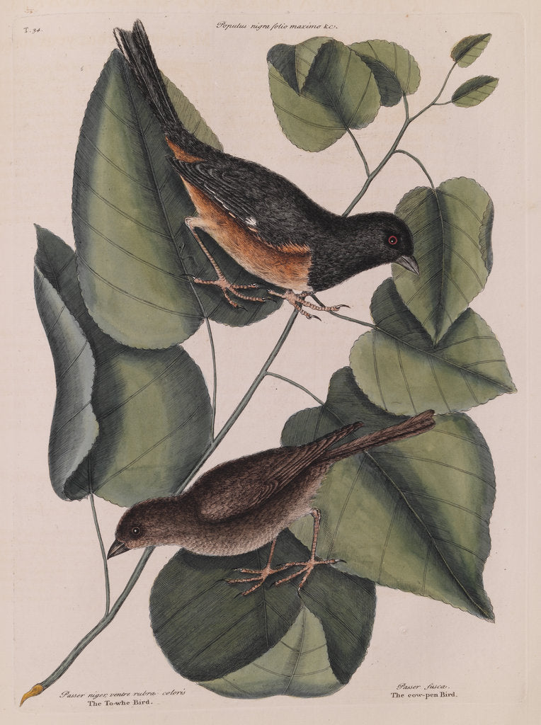 Detail of The 'towhe' bird, the 'cowpen' bird and the 'black poplar' of Carolina by Mark Catesby