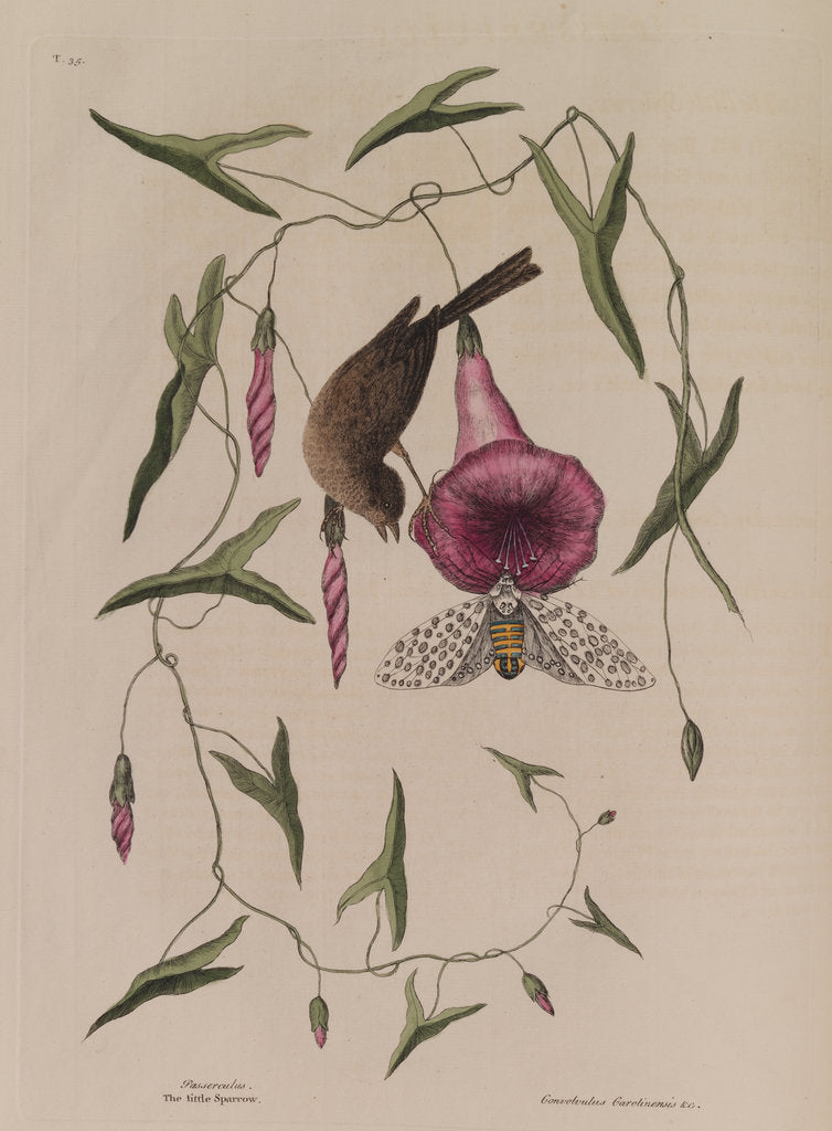Detail of The 'little sparrow' and the 'purple bind-weed of Carolina' by Mark Catesby
