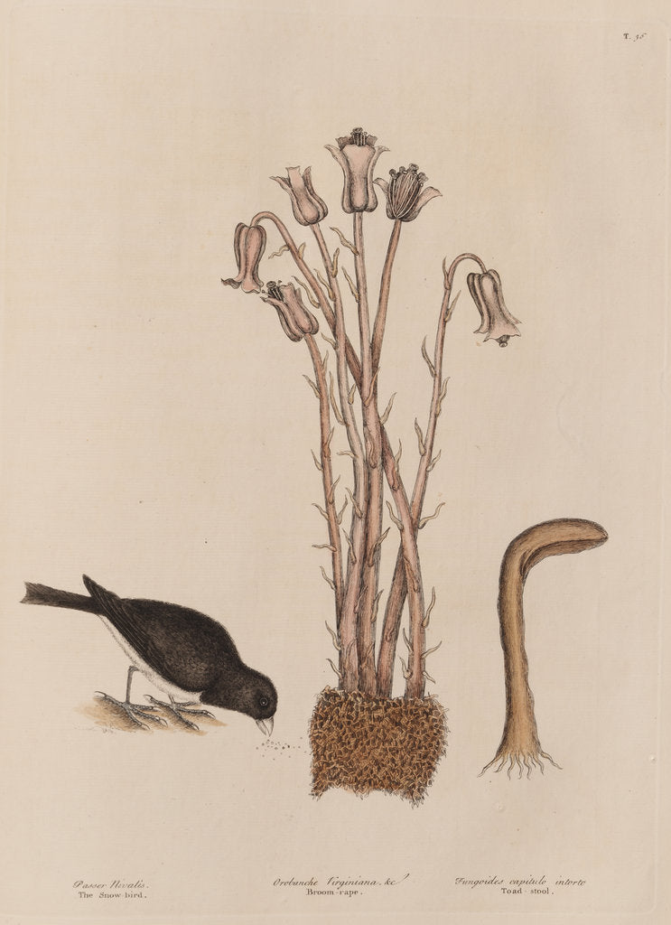 Detail of The 'snow-bird' and the 'broom-rape' by Mark Catesby