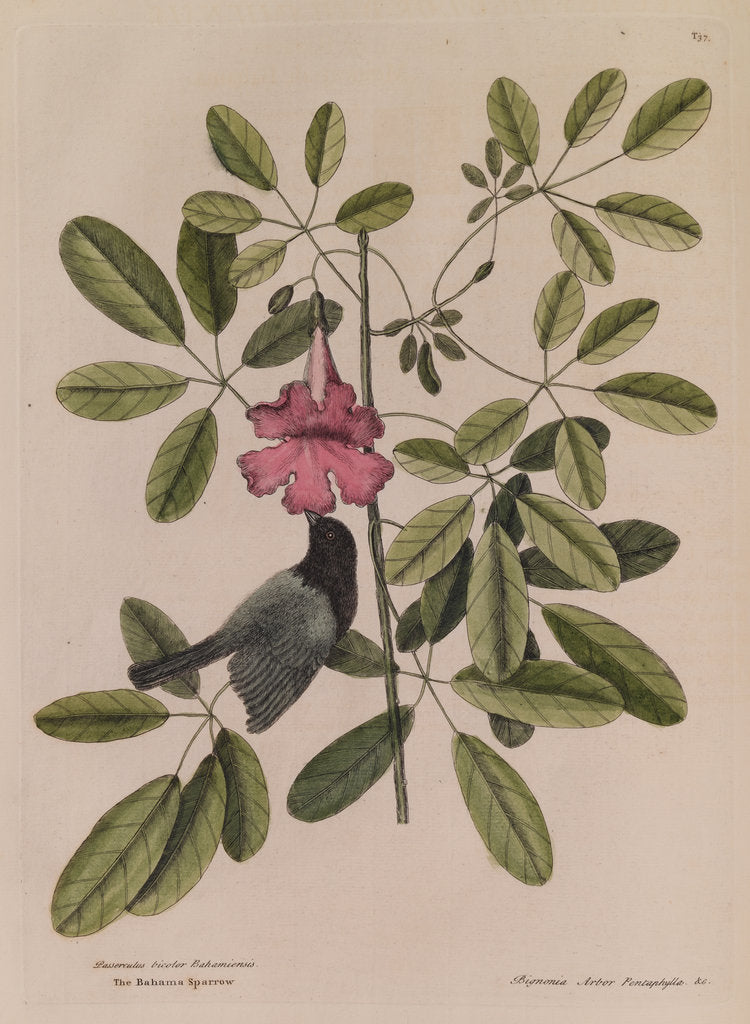 Detail of The 'Bahama sparrow' and the 'bignonia' by Mark Catesby
