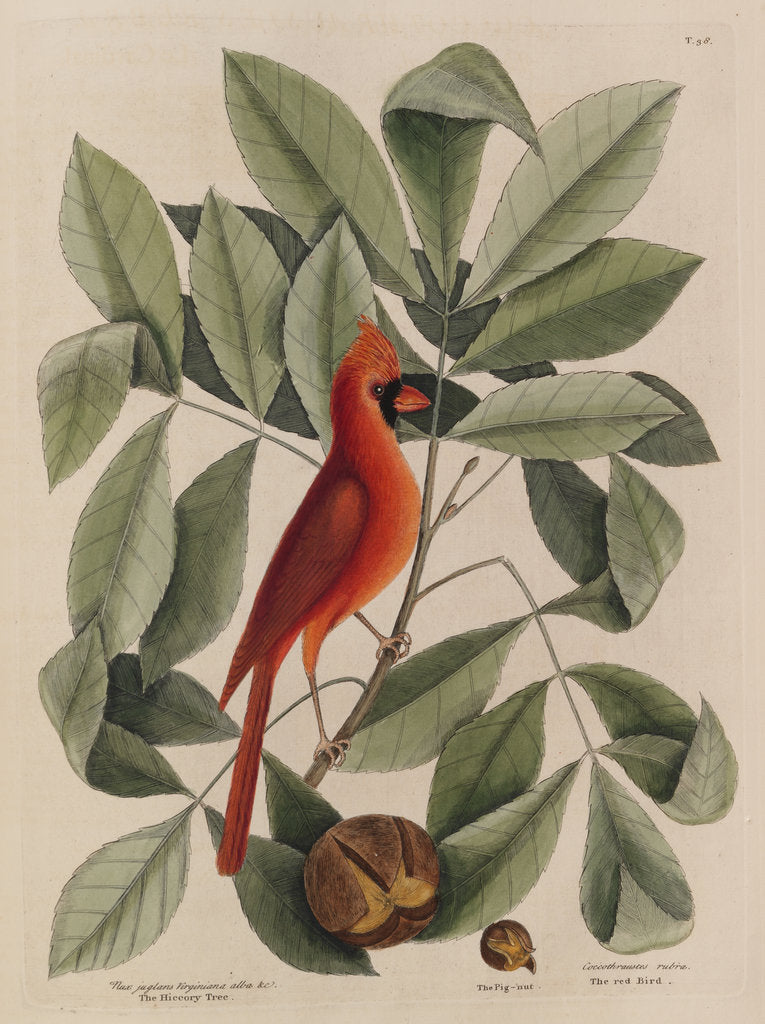 Detail of The 'red bird', the 'hiccory tree' and the 'pignut' by Mark Catesby