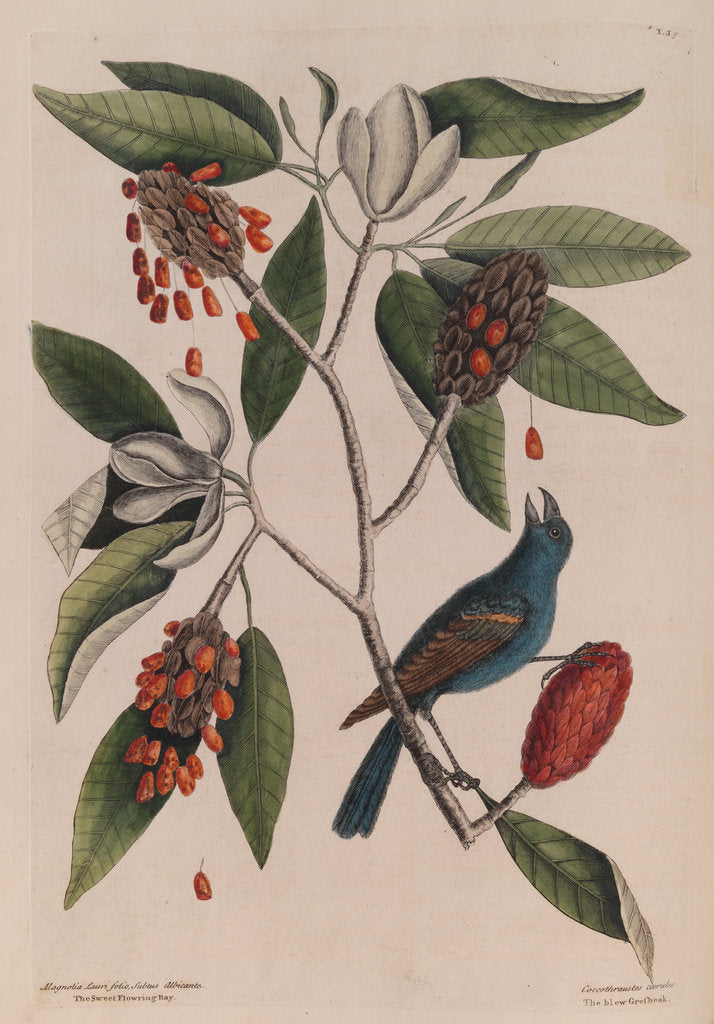 The 'blew gross-beak' and the 'sweet flowring bay' by Mark Catesby