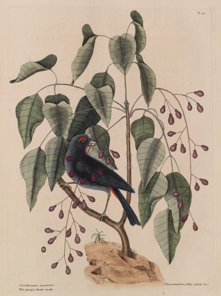 Detail of The 'purple gross-beak' and the 'poison-wood' by Mark Catesby